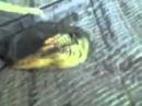 Рыба мутант из Иртыша