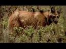 Conheça o lobo guará símbolo do Cerrado