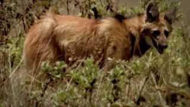 Conheça o lobo-guará, símbolo do Cerrado