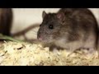 Крысы | Джуманджи. Животные в мегаполисе