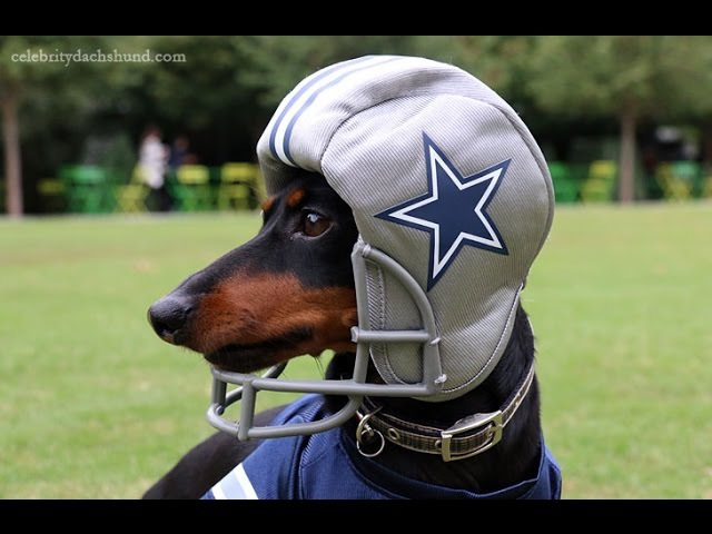 Crusoe the Dachshund - Dallas Cowboys Football Practice