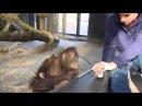 Orangutan finds magic trick hilarious