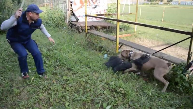 Рабочие собаки бандог