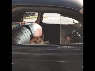 Собака в машине ac/dc