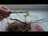 Часть 2 Саженцы малины из корневых черенков