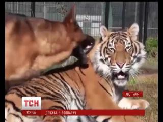 У австралійському зоопарку святкують сім років дружби суматранського тигра та німецької вівчарки