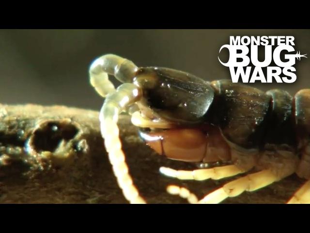 Desert Centipede Vs Trapdoor Spider   MONSTER BUG WARS