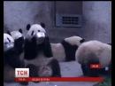 У китайському заповіднику показали, як гігантські панди миють посуд
