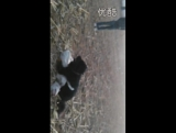 Собачьи бои аргентинский дог vs тибетский мастифф