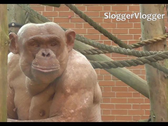Fighting Hairless Chimpanzees