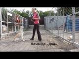 Дрессировка собак в Новосибирске. Команда «Дай»