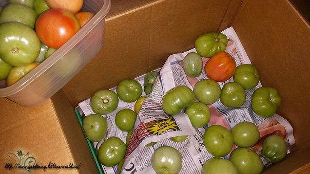 Как сохранить зеленые помидоры свежими и защитить от фитофторы