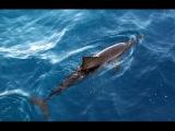 Очаровательные дельфины Погоня корабль в Мальдивах - Мальдивы Дельфин Круиз
