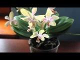 Орхидея Ринх на 7 цветоносов при дневном свете ))