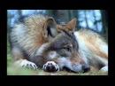 Волк группа Рулетка