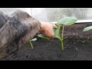 Огурцы на гидропонике и земле. Есть ли разница?
