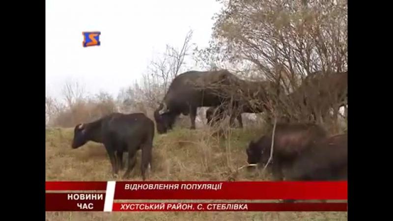 На Хустщині бережуть карпатських буйволів
