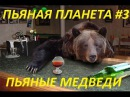 Пьяные в сопли медведи - подборка. Пьяная планета 3. Смешные медведи, приколы с медведями - РЖАЧ.