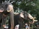 Слоны в Индии проходят медосмотр перед праздником (новости)