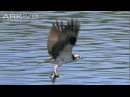 Osprey the ultimate fisher