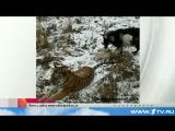 Амурский тигр и козел_ Дружба