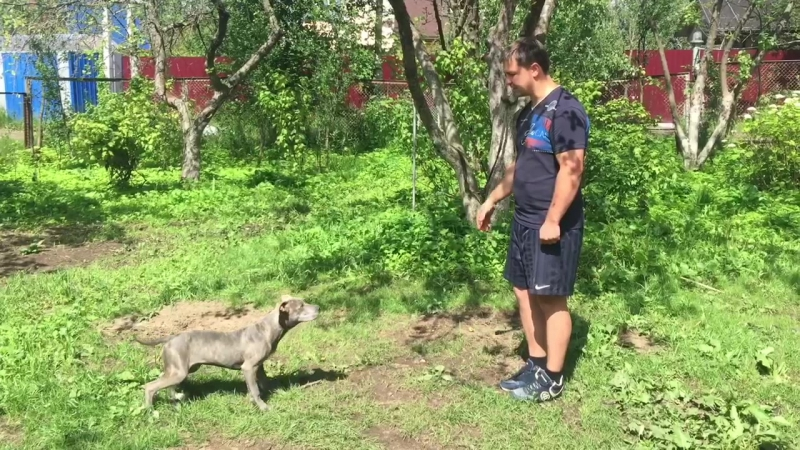 Дрессировка щенка Прайтера 4 месяца Сидеть лежать стоять