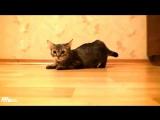 Самый быстрый кот в мире. Прикол. Животные.