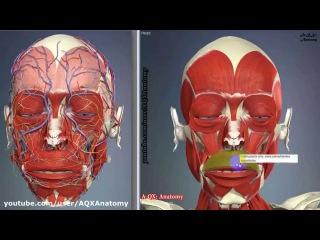 Мимические мышцы лица | 3D Анатомия человека | Внутренние органы