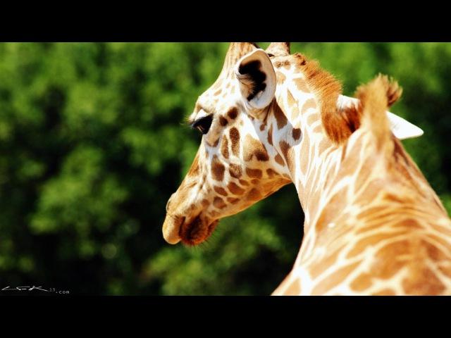 Beauty of wild animals (4k/Ultra-HD - Sony FDR-AX1) かわいい