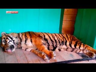 Сбежавшего тигра везли из Подмосковья в КЧР