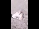 Kangal VS wolf 2 (кангал волк собачьи бои)