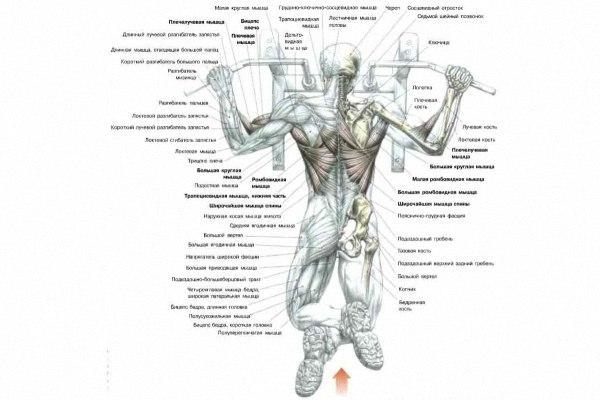 подтягивания какие мышцы