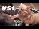Brutal Видео - Питбуль и Чихуахуа | Лучшие Приколы № 51