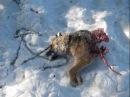 ВОЛК против СОБАКИ! Волк разорвал собаку! Нападение волка на собаку Атака волка