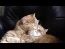 Страстный поцелуй кота [720p]