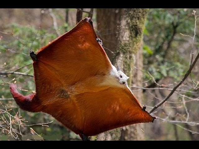 Red and white giant flying squirrel (Petaurista alborufus)