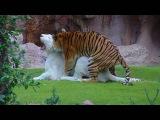 Tygrys bengalski & biały tygrys i miłość