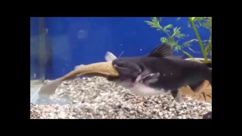 A small fish swallows a larger fish alive AMAZING