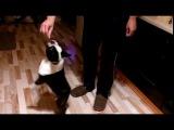 Танец француза. Dancing French bulldog