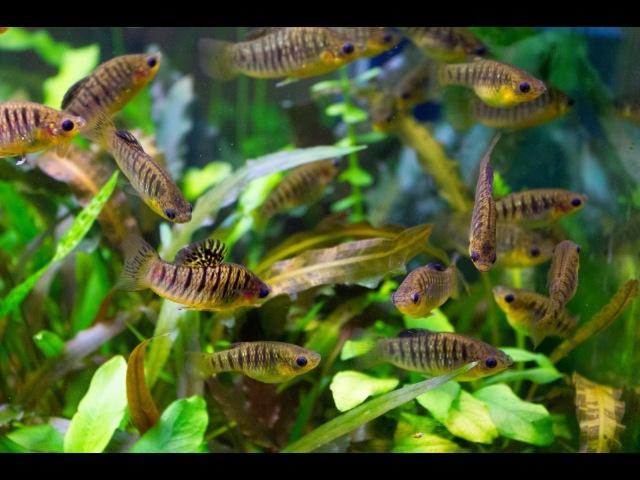 5 живородящих аквариумных рыбок, о которых вы возможно не слышали