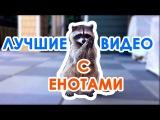 Самые смешные еноты!  Лучшие видео с енотами! Funniest raccoons!