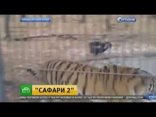 Вольер тигра Амура икозла Тимура оснастят веб-камерами