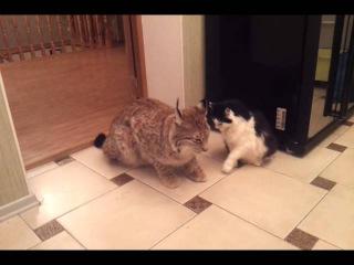 Домашняя рысь.....кошки ..они все кошки)