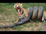 Anaconda vs Crocodile - Python vs Alligator