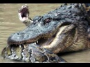 Anaconda attaked Crocodile / Анаконда против крокодила!
