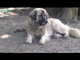 Собака реагирует на мяуканье кошек. Смешной пёс и ноутбук