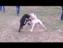 Американский бульдог VS питбуль Собачьи бои
