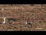 Трюки из «Матрицы» от мангуста в борьбе против кобры. Вот это реакция!