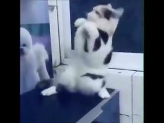 Восточный кот танцует танец живота