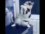 Восточный кот танцует танец живота 😅
